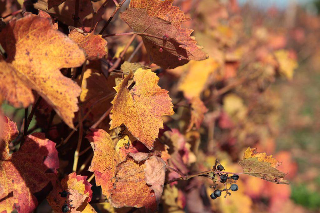vignobles loire saumur